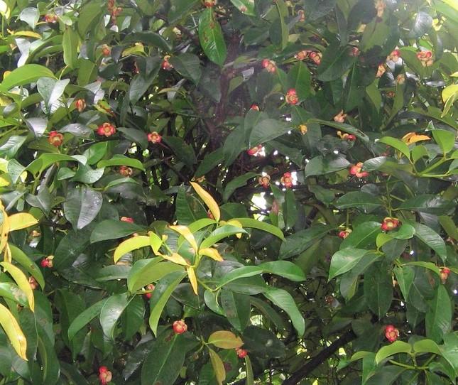 pohon buah manggis