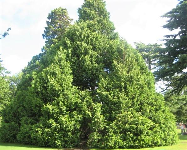pohon gorgot