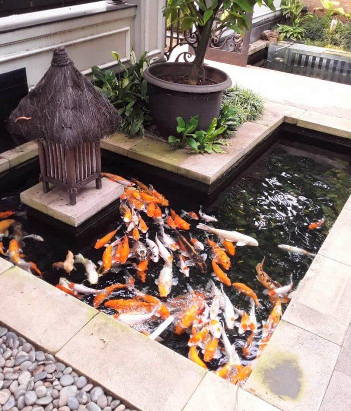 Ikan hias kolam