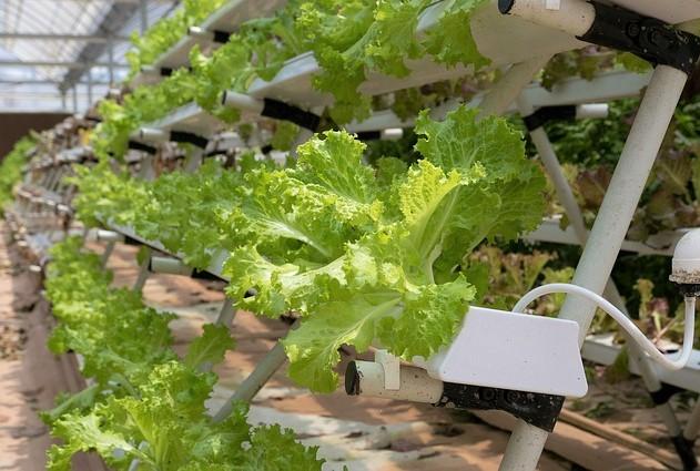 tanaman sayur hidroponik